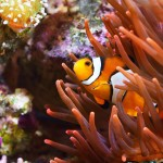 Stock photo of Clownfish swimming through sea anemone