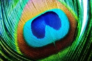 peacock-GS