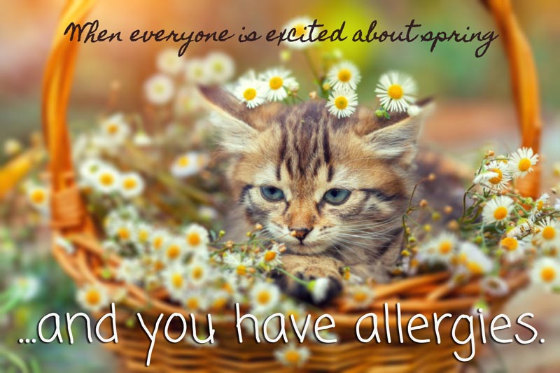 Allergy-Cat-Meme