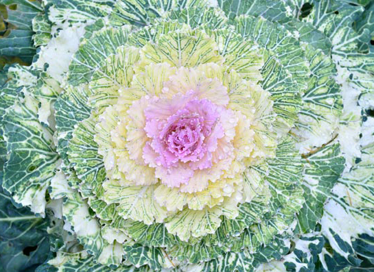 Pantone Organic Color Trends Cabbage