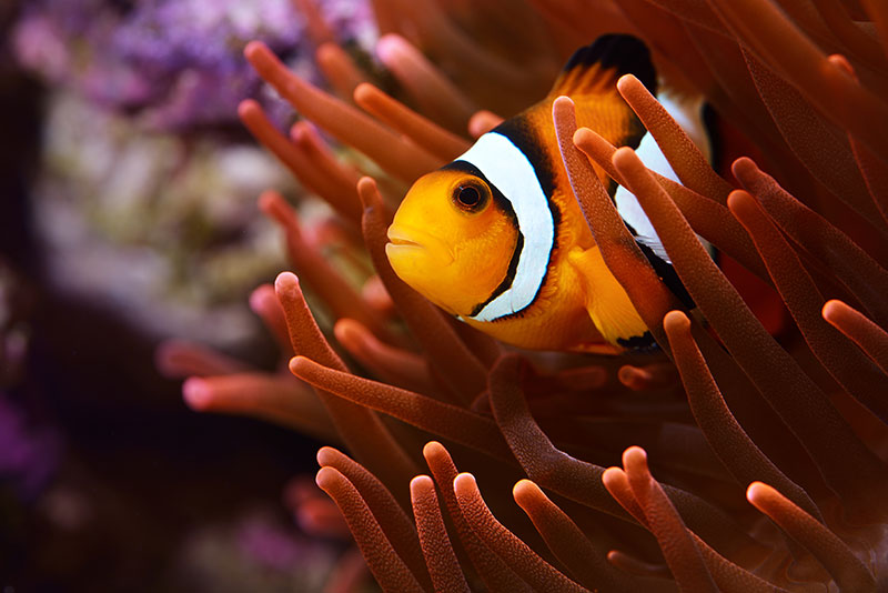 nature photos - clownfish