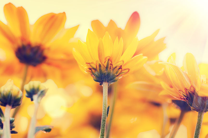 nature stock photos - sunflower field