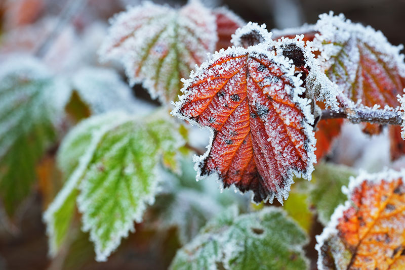 Stock nature photos - frosty leaves