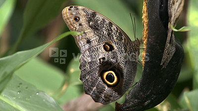 A butterfly feeds on a rotting banana