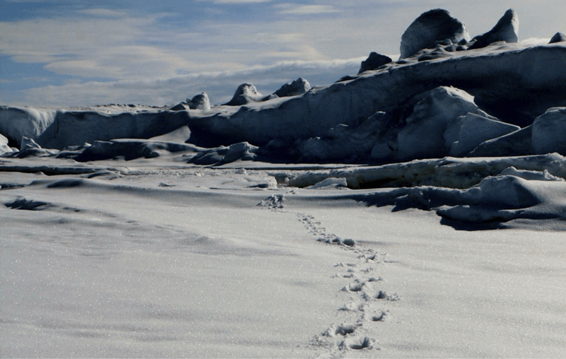 Polar bear tracks in the snow in the Canadian Arctic