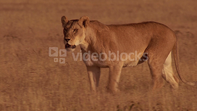 A lioness prowls along the grassy savanna