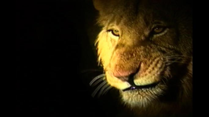 Lion Licks Chops Stock Photo