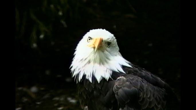 Bald Eagle WA  Stock Photo