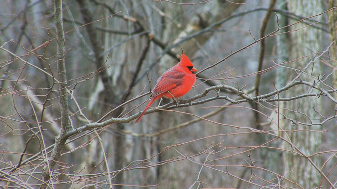 Cardinal Early Spring Stock Photo
