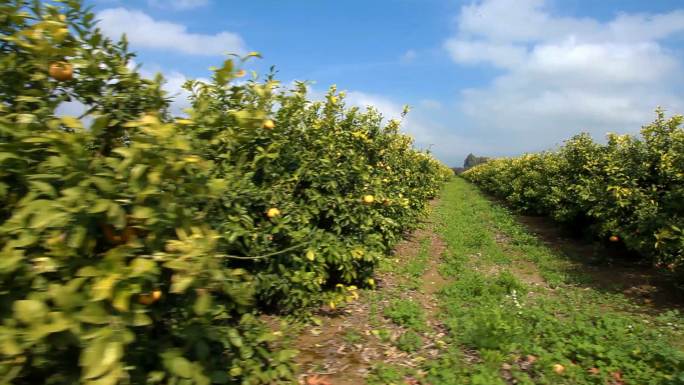 the lemon orchard In the lemon orchard by alex la guma we have the theme of racism, discrimination, hierarchy and injustice narrated in the third person by an unnamed narrator the.