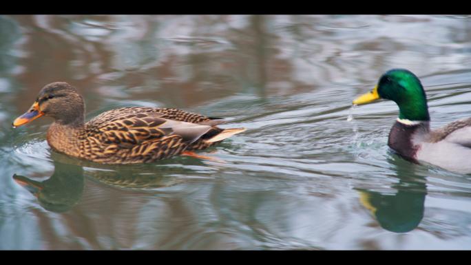 Two Ducks Swimming Along Water Stock Photo