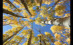 View of Colorado Tree Tops in Autumn