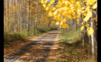 Yellow Autumn Leaves on Trees Near Colorado Mountain Road