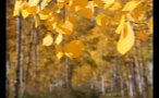 Close Up of Yellow Leaves on Trees in Autumn