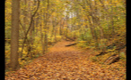 Leaves Covering Pathway in Woods