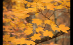 Orange Fall Leaves on Tree Branch in Forest