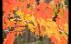 Red and Yellow Leaves in Forest