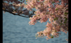Cherry Blossoms on Tree Branch Above Potomac River