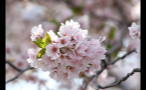 Close Up of Pretty Cherry Blossom Flowers
