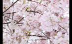 Pink Cherry Blossom Flowers on Tree Branches in DC