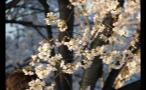 Sun Shining on Cherry Blossom Flowers