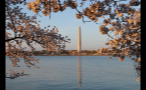 Cherry Blossoms in Washington DC at Sunset