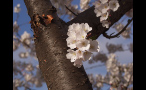 Cherry Blossoms on Tree in the District of Columbia