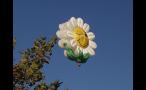 Winking Flower Hot Air Balloon