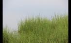 Tall Sea Grass