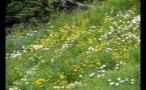 Whistler Mountain Meadow