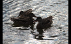 Whistler Lake Ducks