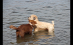 Dogs Playing In Lake