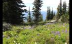 Flowery Meadow On Mountaintop