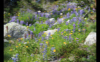 Whistler Flowers By Rocks