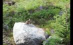Chipmunk Running Away