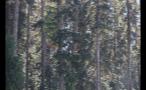 Whistler Pine Trees