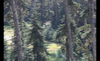 Tall Evergreen Trees In Sunny Forest