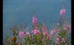 Steady Tall Purple Flowers