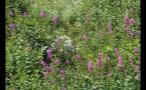 Whistler Mountain Flora