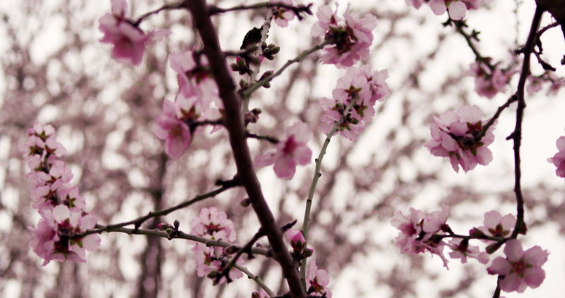 Stock Footage of the Week: The Cherry Blossoms Try Again