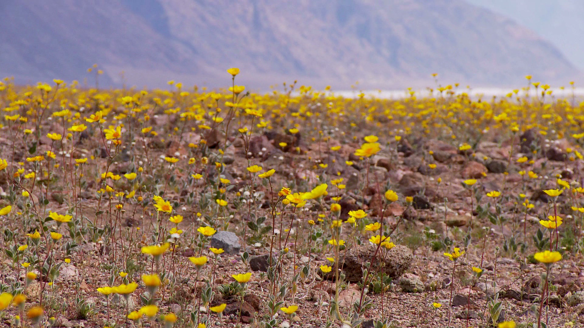 Yellow Desert Flowers Unlimited Free Stock Photos Royalty Free