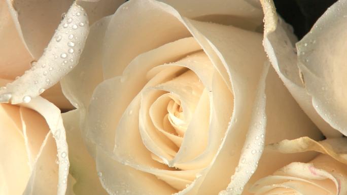 Rotating Wet White Roses
