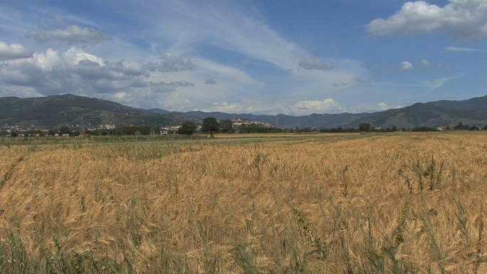 Tuscany Wheat Field and Castelione