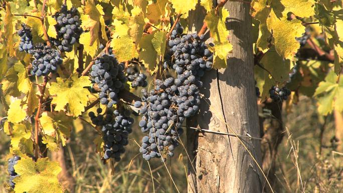 Chianti San Giovese Grapes 7