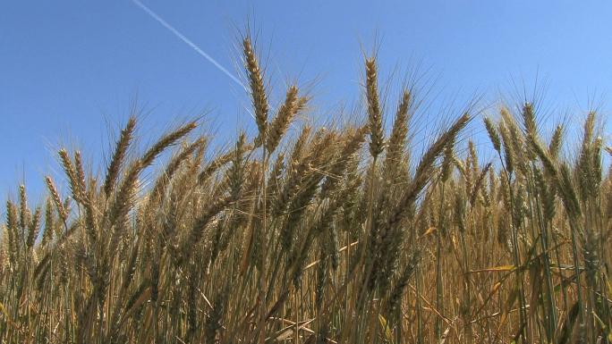 Oregon Wheat and Sky 271