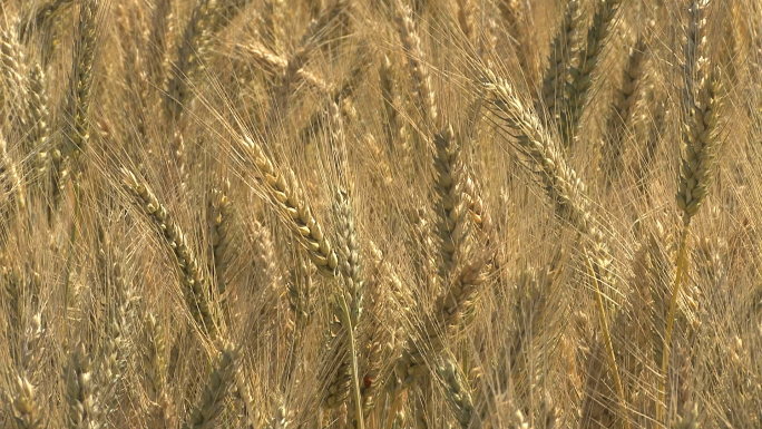 Oregon Wheat Field Zooms Out