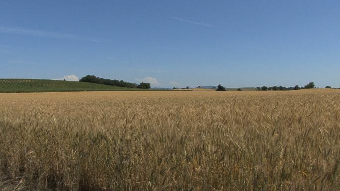 Oregon Wheat Field Long Zoom
