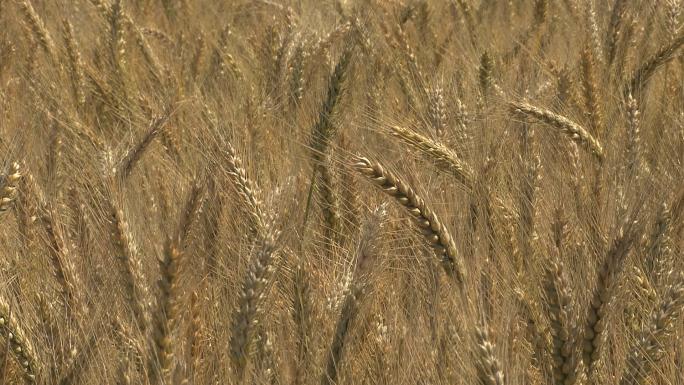 Oregon Wheat Detail 26
