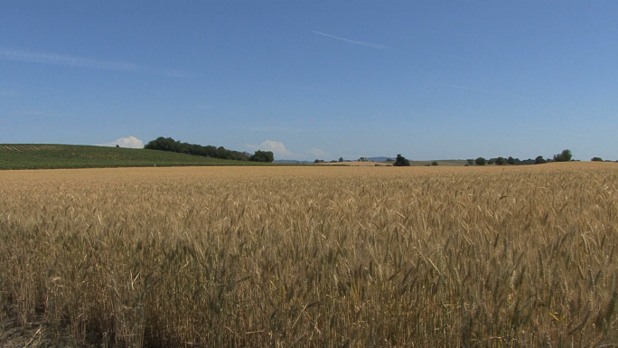 Oregon Ripe Wheat Field