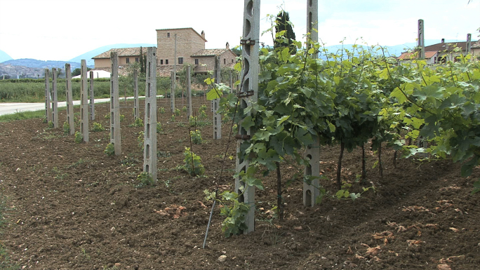 Italy Umbrian Vineyard with Pan